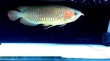 周鱼说鱼第八期血统与养法2节选 红龙白缸都能红就好吗?