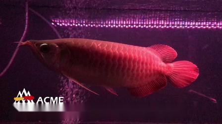 红龙鱼养法与体型七鳍的关系 周鱼说鱼第八期血统与养法2节选