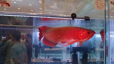 产生红龙鱼发色误区的原因 周鱼说鱼第八期血统与养法2节选