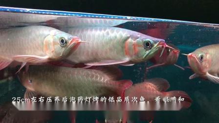 现在市面上的红龙鱼都是卖养法 周鱼说鱼第八期血统与养法2节选