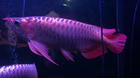 ACME龙鱼玩家案例分析 周鱼说鱼第八期血统与养法2节选
