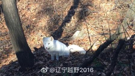 西丰冰拉山上发现狐狸