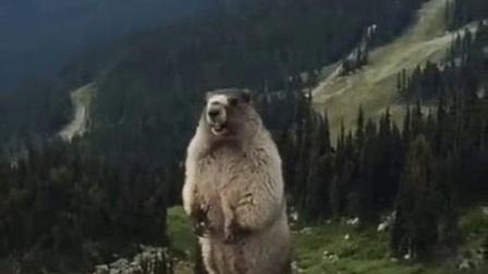 我在听一听土拨鼠真实的叫声截取了一段小视频