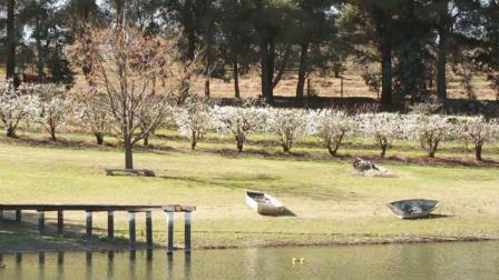 澳大利亚樱桃之都Young的樱花树下户外午餐活动