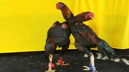 7.2斤让8两,功夫一流,打腿重,可打可做种鸡。