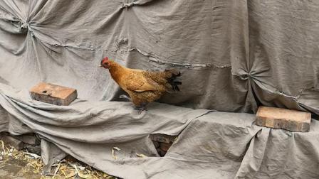 鸡偏要钻洞
