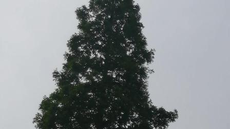 其它的大白鹭都吃饱了然后惊走了,就拍到树冠上的这只了。