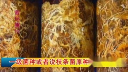 天麻菌材培育技术-2菌种选择
