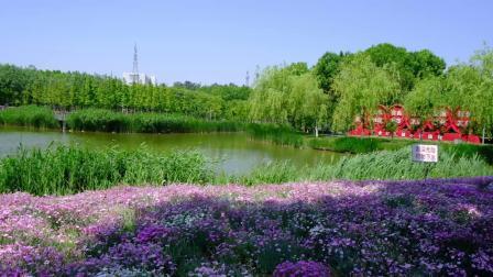 Y-1979-高清实拍鲜花芦苇人工湖