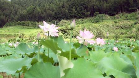 建宁县溪源乡都团村闽江公社荷花池。得胜者东权拍摄。