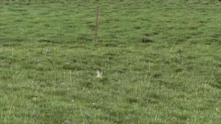 斑头雁:出生后三天不吃东西都饿不死