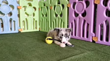 木呈边牧基地-510号蓝陨石色母犬