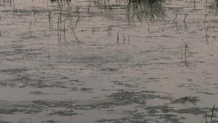 渔猎路亚雷强视频 亮水与草区逗黑鱼