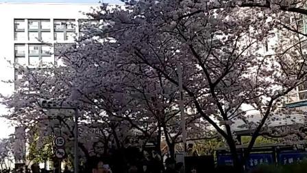 20190331同济大学赏樱花同济樱花大道