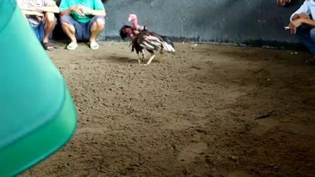 1031-1/5五胜打背打喉大赛鸡6.4斤(血统参考)