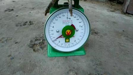 10123-2/2已养好的特重脚打背6.3斤