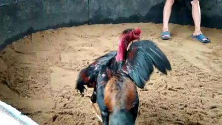 10173重快脚短量打坏鸡6.1斤