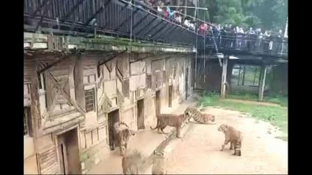 游客用肉斗养植园老虎玩