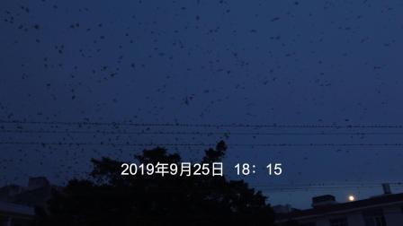 海边小城惊现万鸟归巢奇观