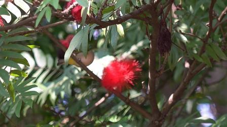 绣眼鸟与红花