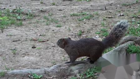 可爱小动物-活泼松鼠在觅食-lively squirrel