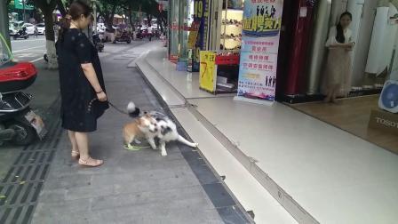 柯基狗【取名土豆】成长记201907061817【720p】--1分9秒★★★★★
