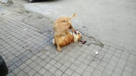 柯基狗【取名土豆】成长记201908290748--【720p】--33秒★★★★★