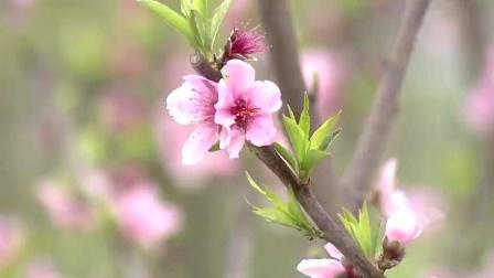 云赏花   湖北阳新春光好 桃李花开满芬芳