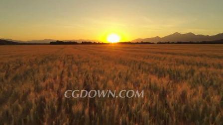 航拍特写日出时广阔的农业农田上的金色麦田视频素材来自西橘网
