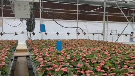 云南红掌温室基地/花卉移动苗床/温室移动喷灌机/信誉厂家