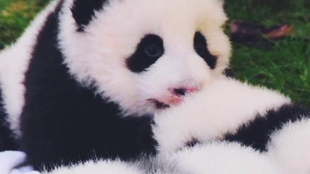 可爱的大熊猫.mp4