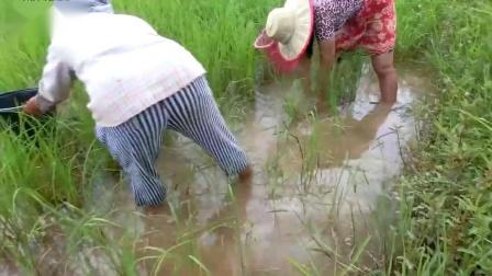 农村少妇荒野里找食材,一会的功夫找了半桶小鱼,高兴的回家了
