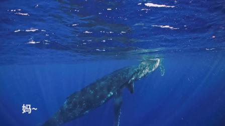 《鲸碳之歌》对白设计与短视频改编竞赛 对白组二等奖–鲸鱼母子旅途日常