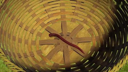 州洲绿之梦:州洲捡到了蚯蚓,蚯蚓是益虫,生活在土壤里的