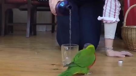 聪明又可爱的鹦鹉:渴了要喝水,继续倒,我不停你就不要停