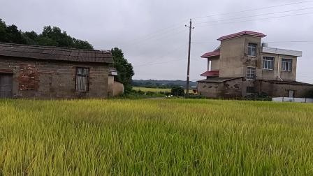 秋季稻谷香。