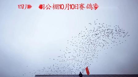 四川俊翔公棚10月10日赛鸽家飞视频
