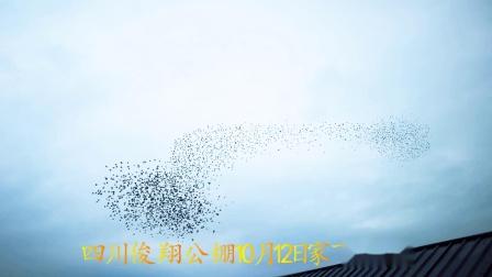 四川俊翔公棚10月12日家飞视频