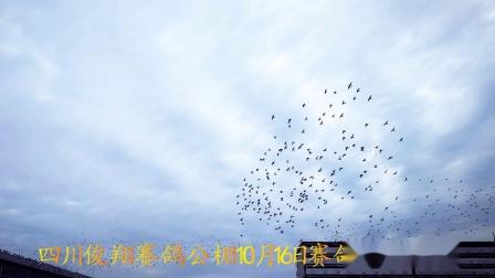 四川俊翔赛鸽公棚10月16日赛鸽家飞视频