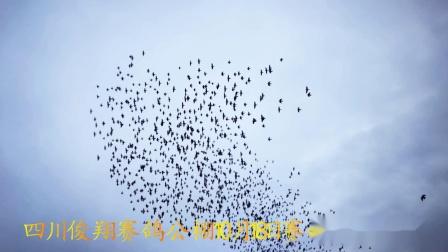 四川俊翔赛鸽公棚10月18日赛鸽家飞视频