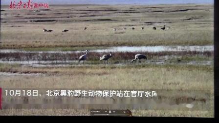 黑豹野保站 北京日报 候鸟进京.mov