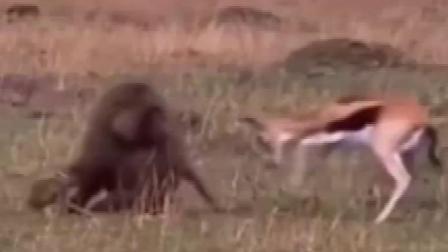 狮子面前,牛妈妈拼命保护牛宝宝
