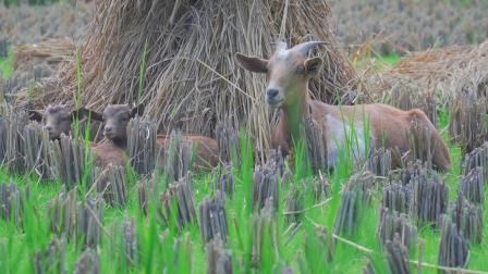 1【徐岙底】三毛传 一只羊的趣事 瑞爷vlog