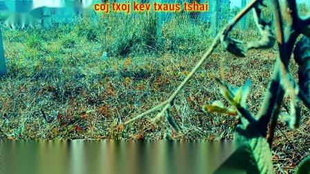 Dab_neeg_Lub_zos_hmoob_coj_txoj_cai_txaus_tshai_-_ghost_story.mp4