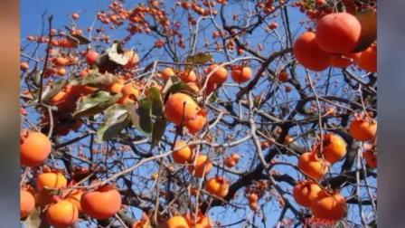 音画歌曲妈妈和柿子树 mp4