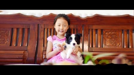 安吉拉公F3-64天 黑白色边牧幼犬