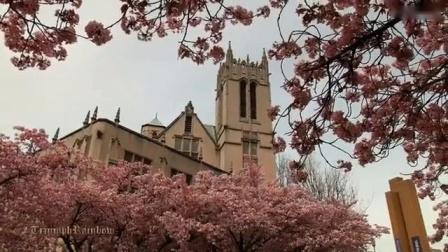 华盛顿大学盛开的迎春花--音悦Tai-生活-高清完整正版视频在线观看-优酷