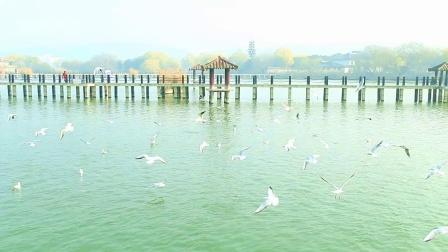 无锡三国城  红嘴鸥  摄 编:老金摄像