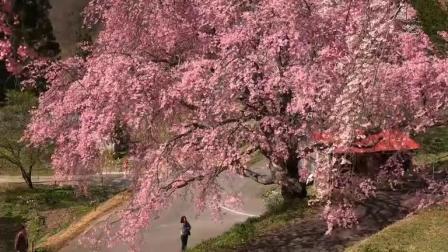 日本信州北阿尔卑斯山残雪小川村之樱花--音悦Tai-生活-高清完整正版视频在线观看-优酷