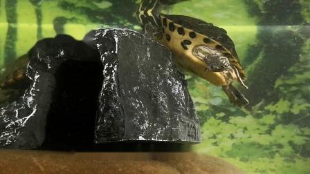 好玩的地图龟的种类喂食
